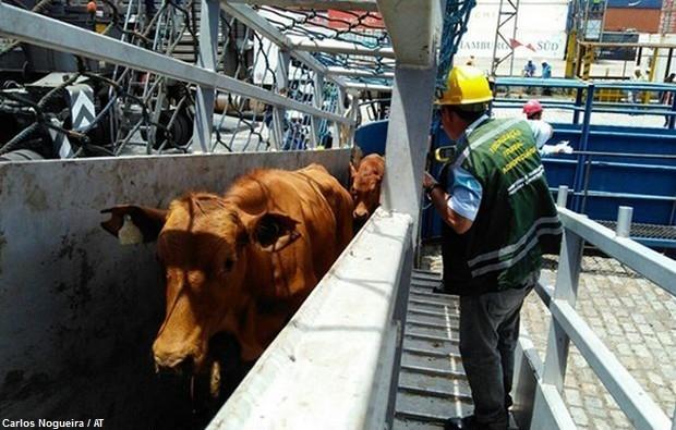 Resultado de imagem para exportação de animais vivos